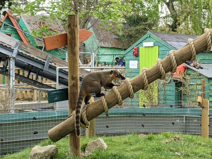 Coati climbing a wooden beam at Chessington