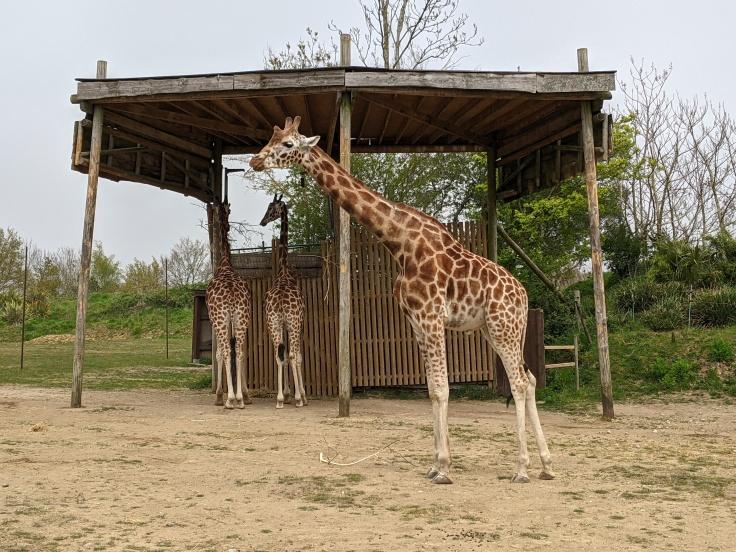 Giraffe seen during Zufari at Chessington