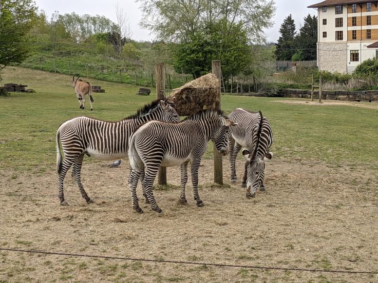 Zebra feeding in Wanyama Village at Chessington