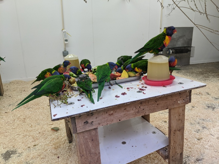Lorikeets feeding in the inside part of their enclosure at Chessington
