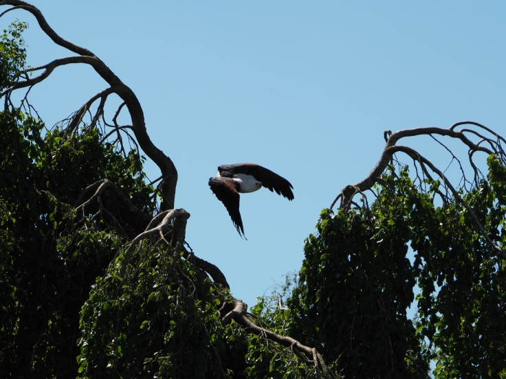 Othello the fish eagle flying down from the tree