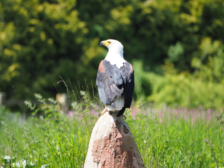 Othello the fish eagle perching on a rock during the flying demonstration