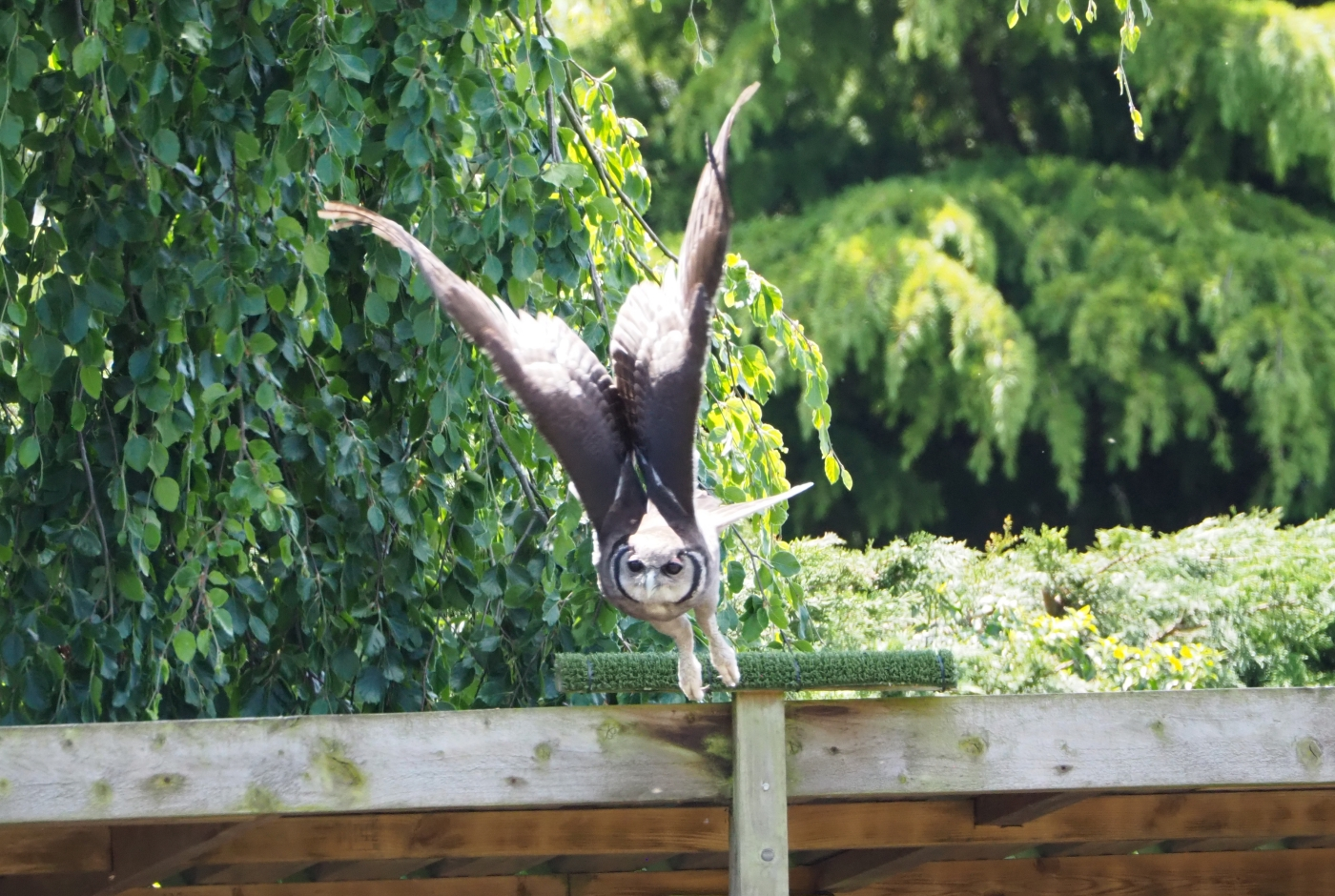 Milky eagle owl taking flight during the first flying display