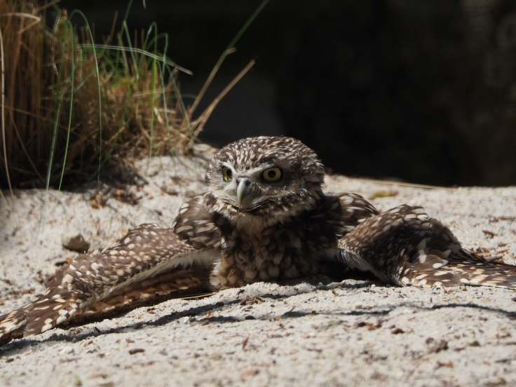 Burrowing owl trying to keep cool