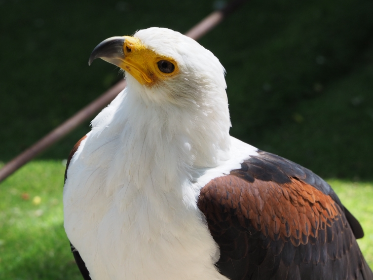 Othello fish eagle looking up from his perch
