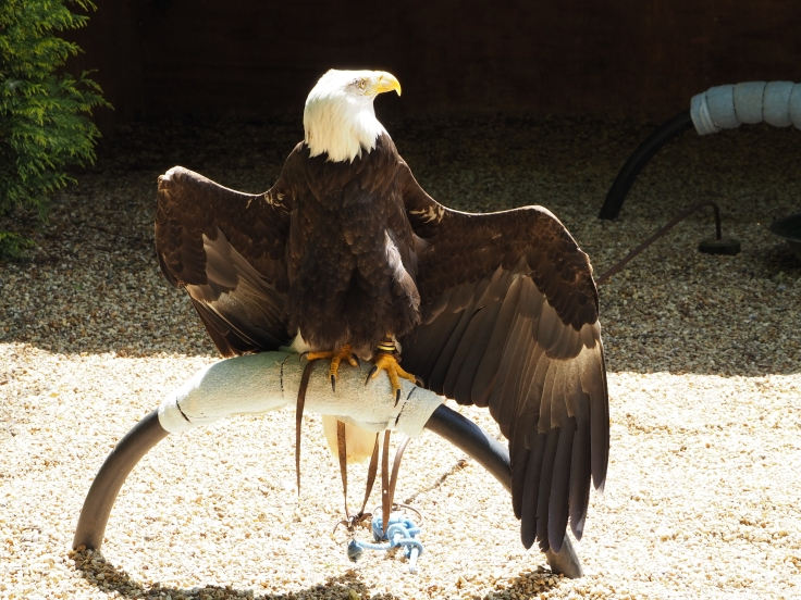 Orion the bald eagle sits with its wings out in the sun