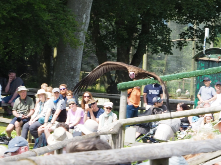 Hooded vulture flying over the audience