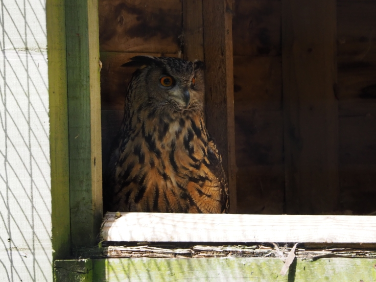 A Eurasian eagle owl looks out from its enclosure