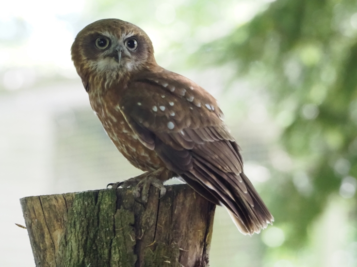 Troy the tawny owl perched on a tree during the Woodland Owls display