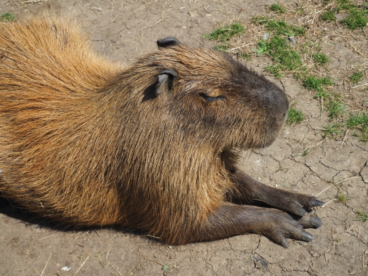 A capybara sat on the ground with its eyes shut in the sun