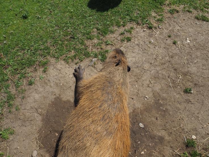 A sleeping capybara lying on the ground