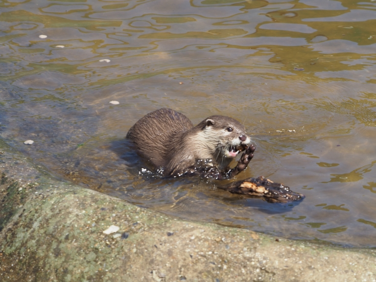 An otter playing with a small piece of wood in a pool of water