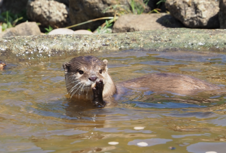 An otter with a stone in its paws which it has found in a pool of water