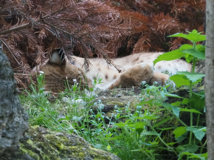 A Carpathian Lynx sleeping under a tree