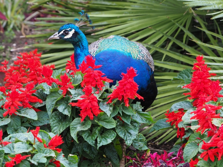 A peacock hiding in a flower bed of red flowers