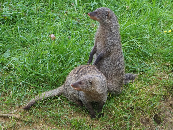 A pair of mongoose, one standing and one crouching in front