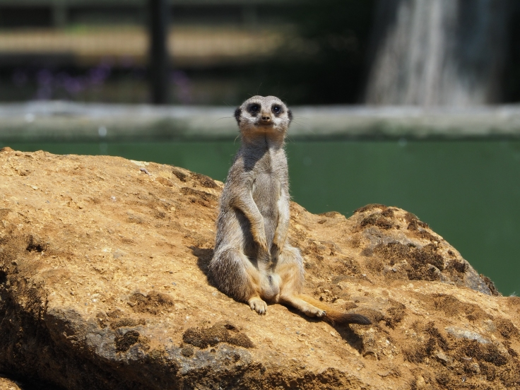A meerkat sat on a rock looking directly towards the camera